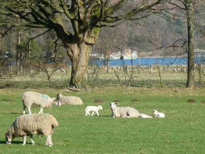 Lambs by Ullswater Spring 2011